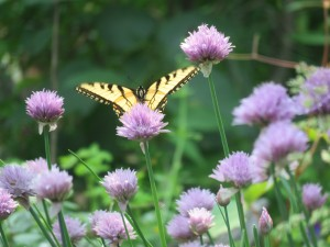 butterfly-on-chives