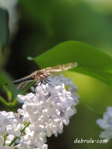 lilacs-with-dragonfly